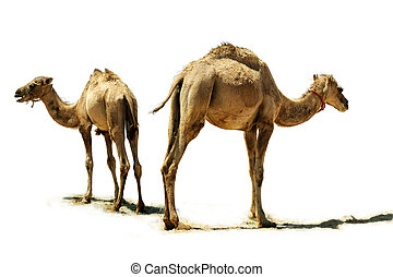 Baby camel - Small camel, close up, isolated on a white...