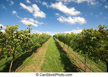 Vineyard Scene - Rows of grapevines growing in a vineyard on...