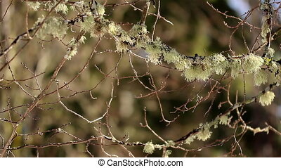 Twigs of trees has moss on it - Twigs of trees has...