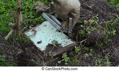 garden worker mole trap - worker hand take out traps from...