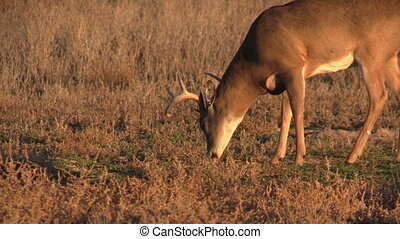 Whitetail Buck Eating - a whitetail buck grazing