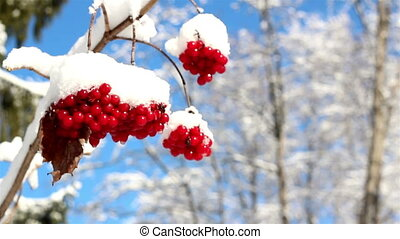 Three Viburnum opulus Guelder Rose covered with snow - Three...