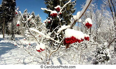 Viburnum opulus Guelder Rose covered with snow with tall...