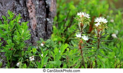 Marsh Labrador Tea Rhododendron tomentosum - A beautiful...