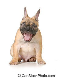 dog laughing - french bulldog with funny expression isolated...