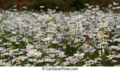 Lots of white daisies on the field