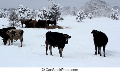 Lots of cows standing on the snow