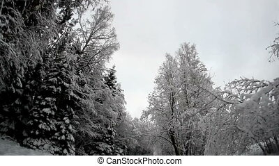 Tall trees on the roadside covered with snow