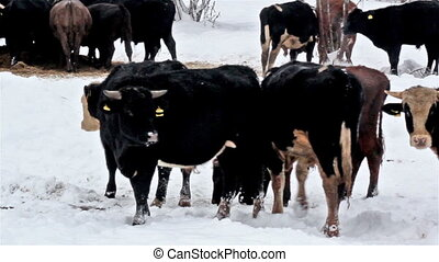 A white-spotted cow among the other black cows