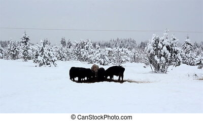 Lots of cows looking for food on snow