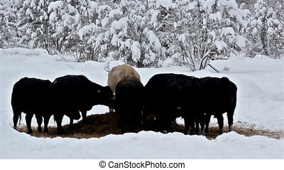 Six cows eating some grass on the snow-covered area one cow...