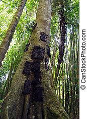 tumbas,  indonesia, árbol, grande, tronco, bebé