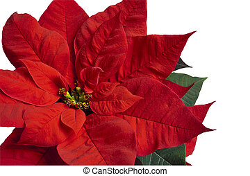 Poinsettia on White - Close up of red poinsettia isolated on...
