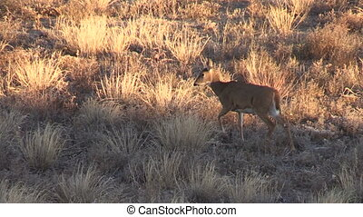 Whitetail Doe - a whitetail doe walking across a clearing