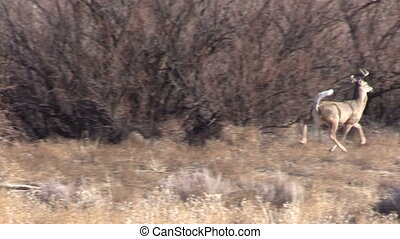 Whitetail Buck Running - a whitetail buck running to thick...