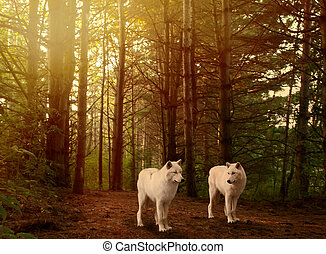 wolves in woods - two beautiful grey wolves in a forest