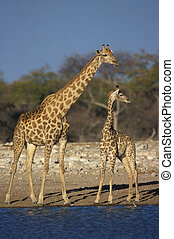 Giraffe, Giraffa camelopardalis, two mammals at water,...