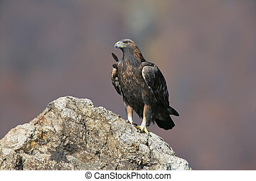 Golden eagle, Aquila chrysaetos, single bird on rock,...