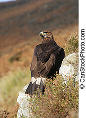 Golden eagle, Aquila chrysaetos, single bird on rock