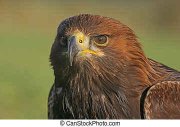 Golden eagle, Aquila chrysaetos, single bird head shot