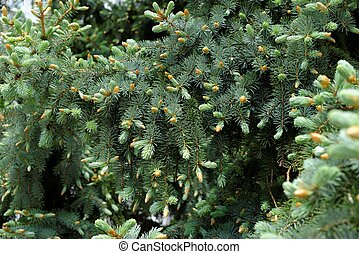 Young sprouts of Blue Spruce (Picea pungens)