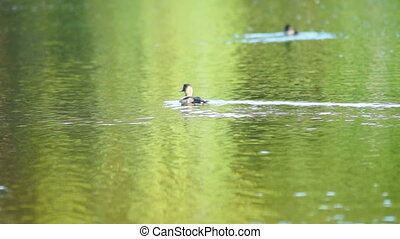 Duck looking for fish under water