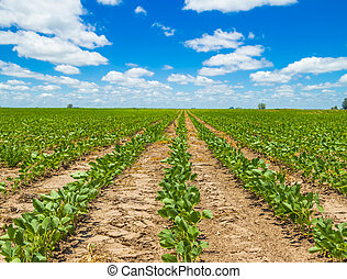 Soybean plantation - Rows of growing soybean crops under a...