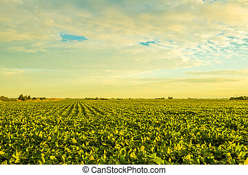 Countryside at sunset - A beautiful soybean field at dusk...