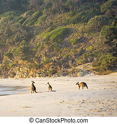 Kangaroos On Beach At Dawn - Australian native Kangaroo...