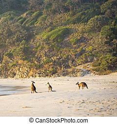 Kangaroos On Beach At Dawn - Australian native Kangaroo...