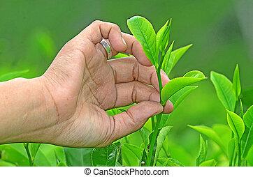 tea - Tea leaves in a tea plantation PTPN 12 Kertono Lumjang...