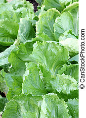 Broad-leaved Endive Salad leaves - Home grown Broad-leaved...