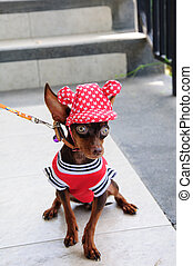 chihuahua or chiwawa with beautiful hat.