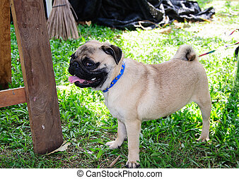 pug relaxing in nature.