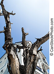 dead tree - Dead tree behind a building against the sky,...