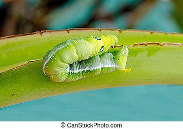 Caterpillar walking on  banana leaf