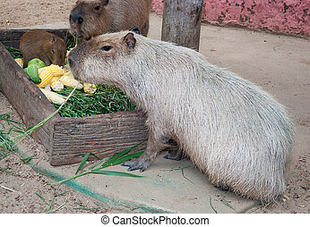 Capybaras in zoo