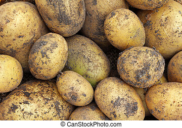 Freshly harvested Organic Potatoes with soil on them