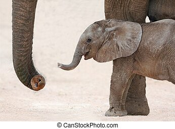 African Elephant Baby and Mom - Cute baby African elephant...