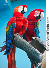 Ara parrot - Couple of cute tropical parrots Ara macao or...