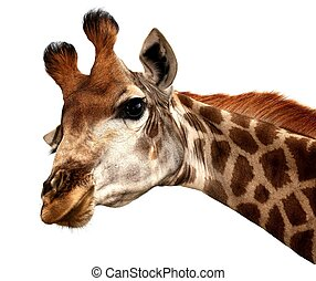 Funny Giraffe Portrait - Portrait of an inquisitive giraffe...