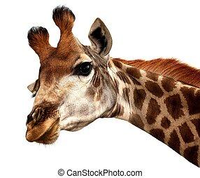 rigolote, girafe,  portrait