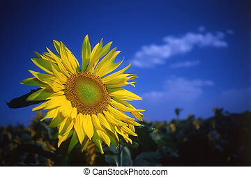 sunflower on a dark blue background