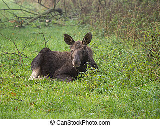 Eurasian Elk or Moose - New-born Eurasian elk or moose, the...