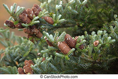 Korean Fir cone - Korean Fir Abies koreana close up on cones...