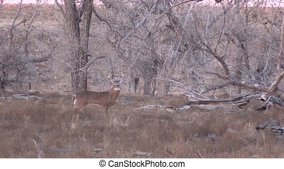 Whitetail Buck - a nice whitetail buck on alert then runs...