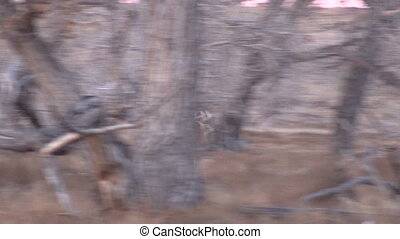 Whitetail Buck Running - a whitetail buck running through...