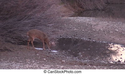 Whitetail Buck Drinking - a nice whitetail buck drinking