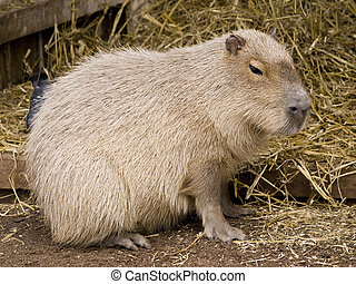 Cute capybara rodent against a straw background