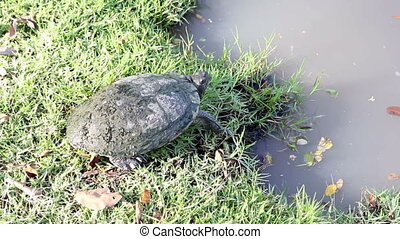 Turtle standing beside the lake